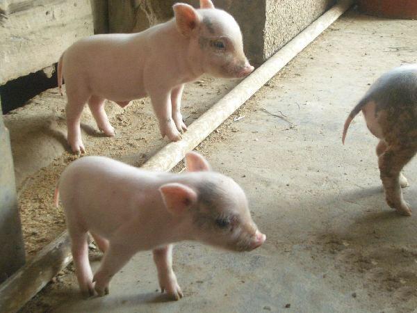 一、水肿病猪:推糖   水肿病对养猪的危害很大,只要在保育期出现仔猪水肿病,会造成大批死亡,损失是不可避免的。在生产上,我们也曾试用过不少种方法,最后认为及时为仔猪推糖是挽救仔猪生命的最好方法。方法是在仔猪开始出现眼睑水肿但没有神经症状时,及时给仔猪静脉推注25%或50%葡萄糖(约40毫升),可以将仔猪从死亡线上拉回来。   二、应激猪:放血   近年来,瘦肉品种越来越受养猪者欢迎,但高瘦肉品种的高应激性让人望而却步,一些猪在抓猪、驱赶、保定等过程突发应激,有的突然死亡。不论是注射肾上腺素,还是冷水