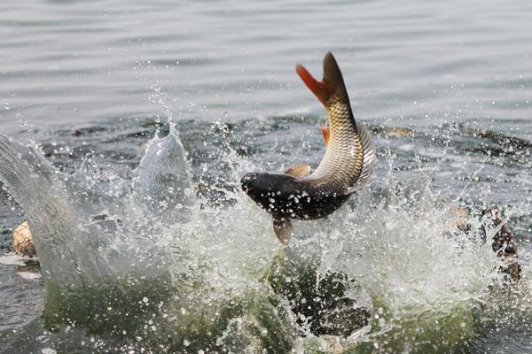 鯉魚跳龍門,生態黃河金