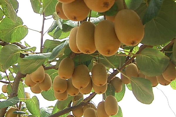 金堂縣云合金紅山獼猴桃種植專業合作社