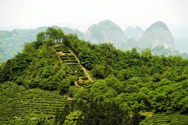 文化名茶 知青圣地——湖南沅陵五嶺春茶業公司