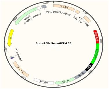 LC3自噬双荧光慢病毒
