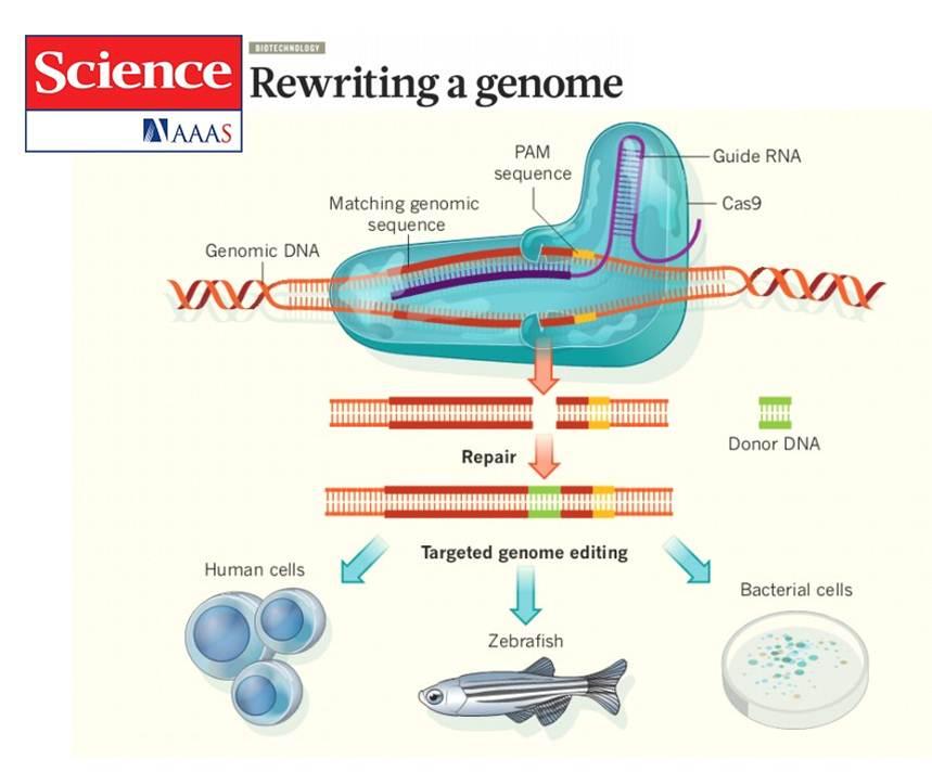 配对的序列靶位点处剪切双链 dna,从而实现对基因组dna序列进行编辑