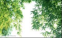 竹叶提取物