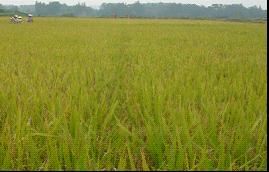 水稻种植项目