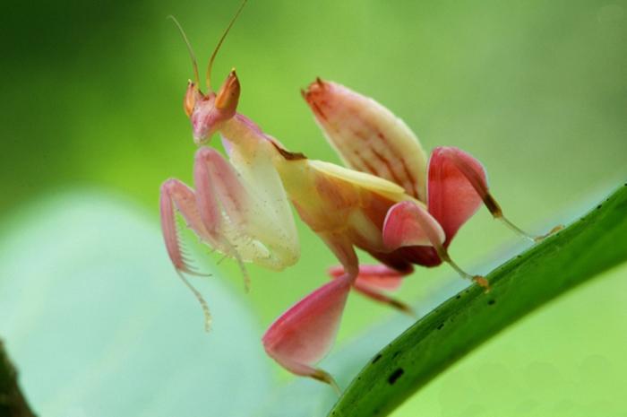 它们的步肢演化出类似花瓣的构造和颜色,可以在兰花中拟态而不会被