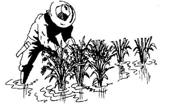 水稻卡通简笔画