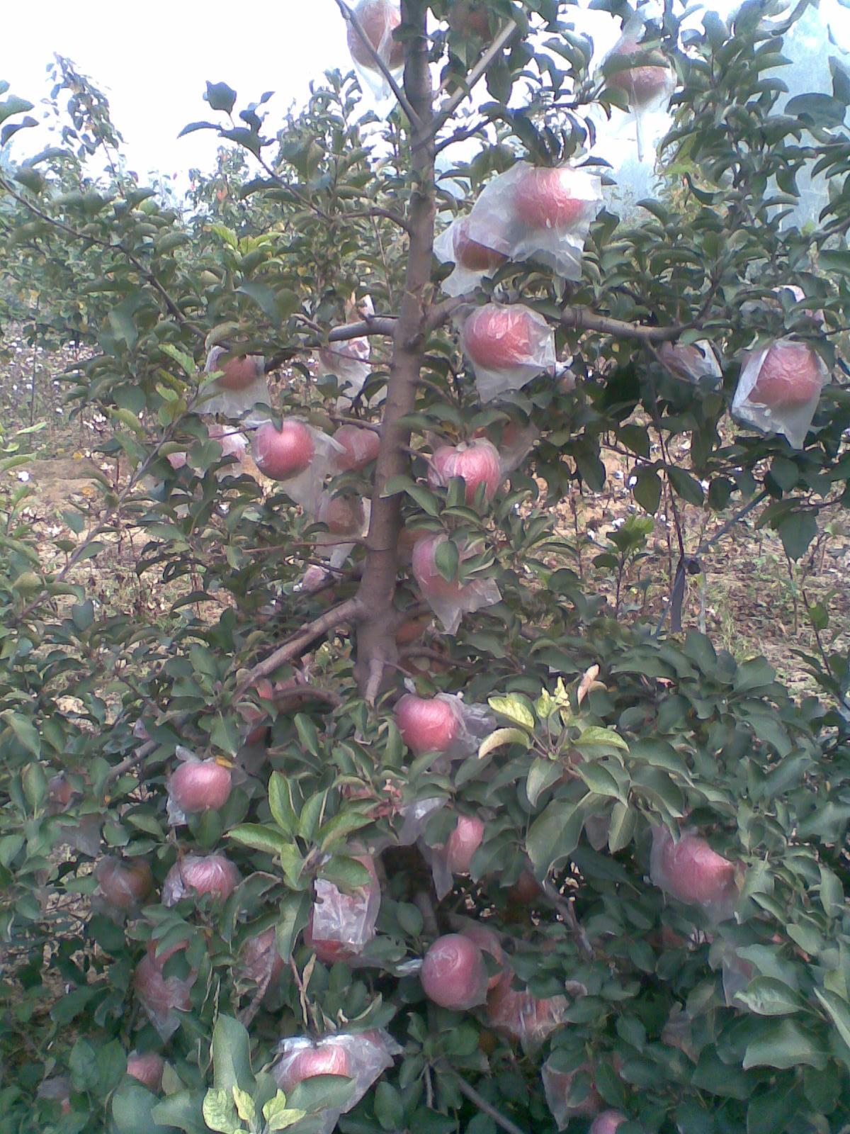 五年生的主干密植型苹果6