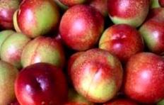珍珠枣油桃