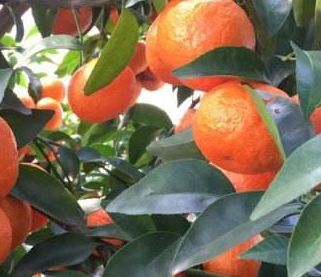 沙糖桔幼年树栽培管理技术
