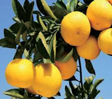 黄金柑基地——桂林