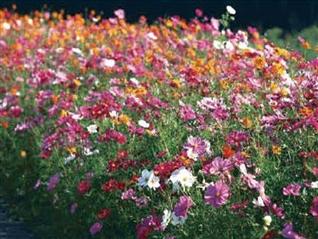 彩色之旅-道路景观专用野花组合