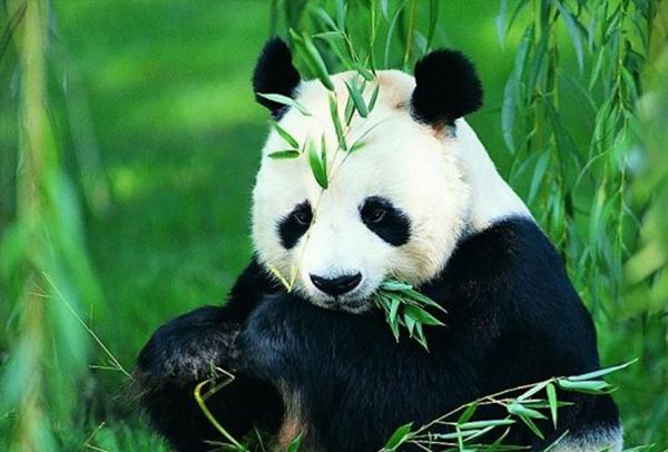 熊猫1-1