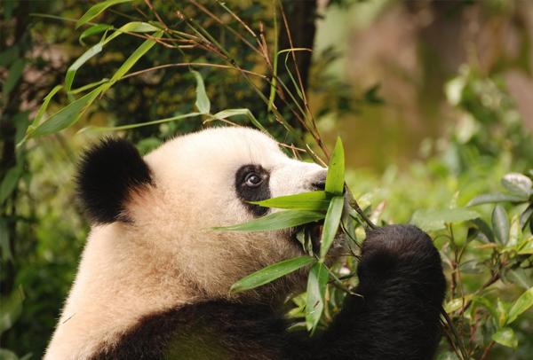 熊猫1-2