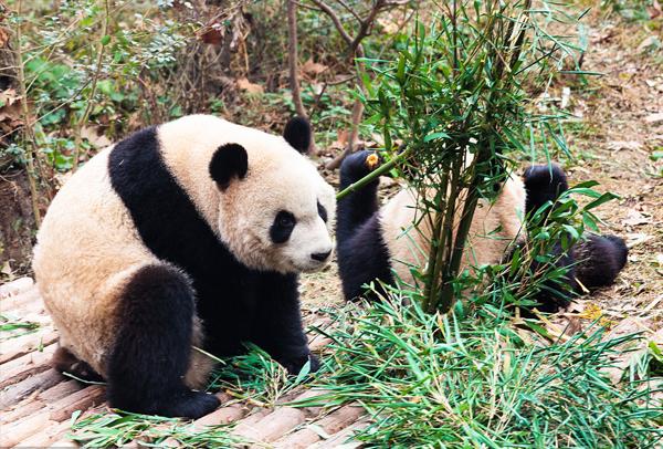 熊猫1-3