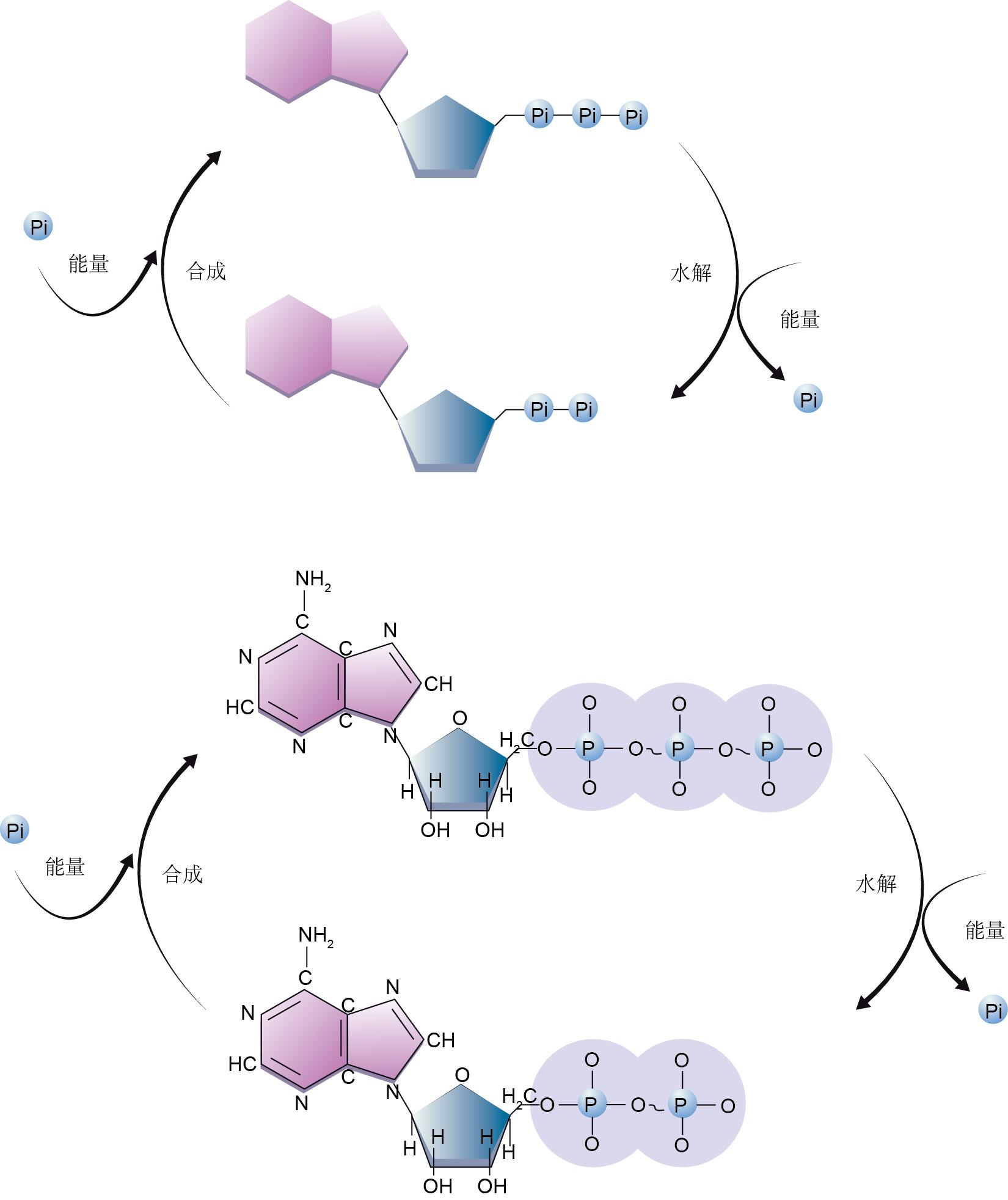 ATP循环
