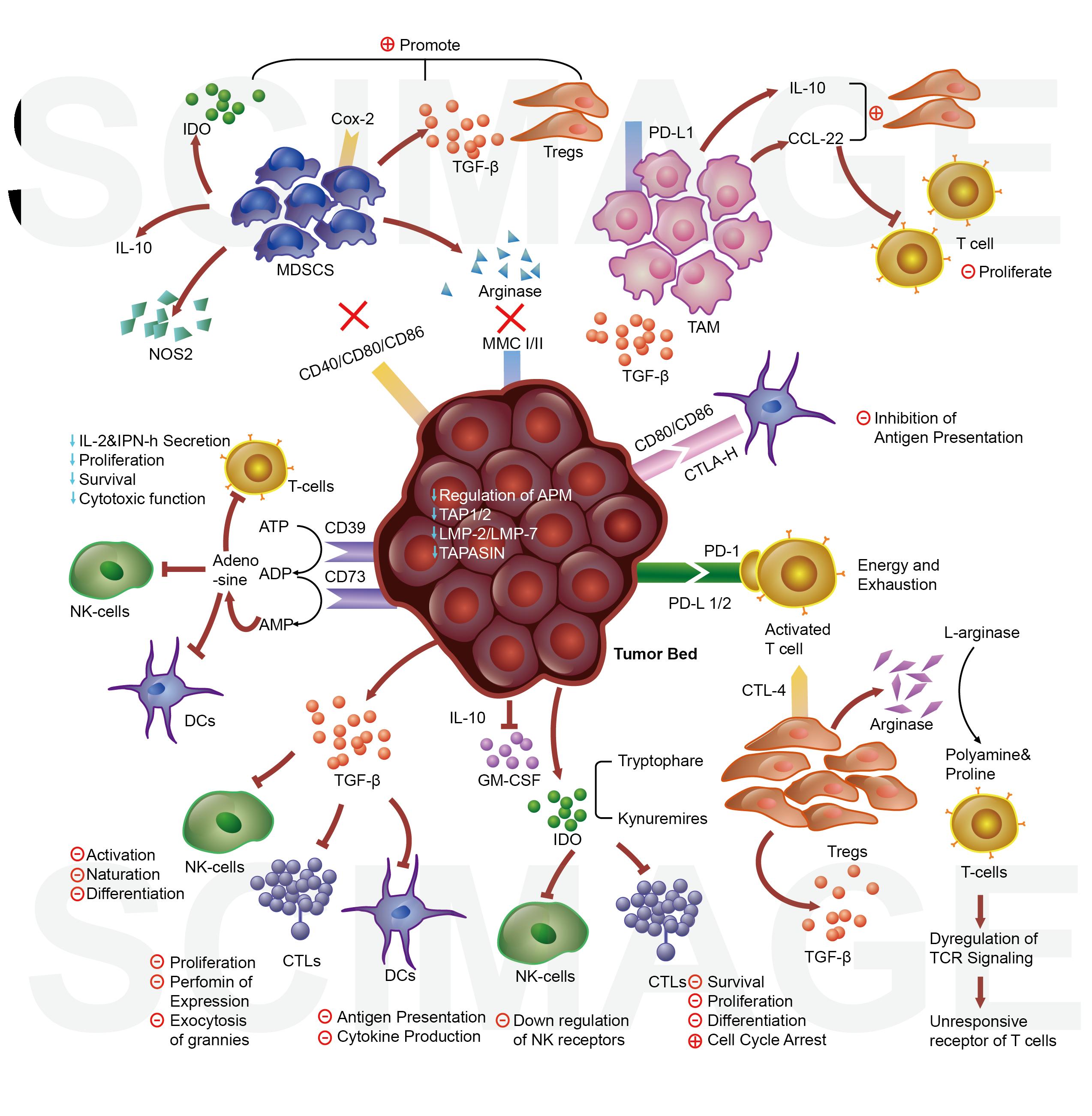 肿瘤细胞与其他细胞