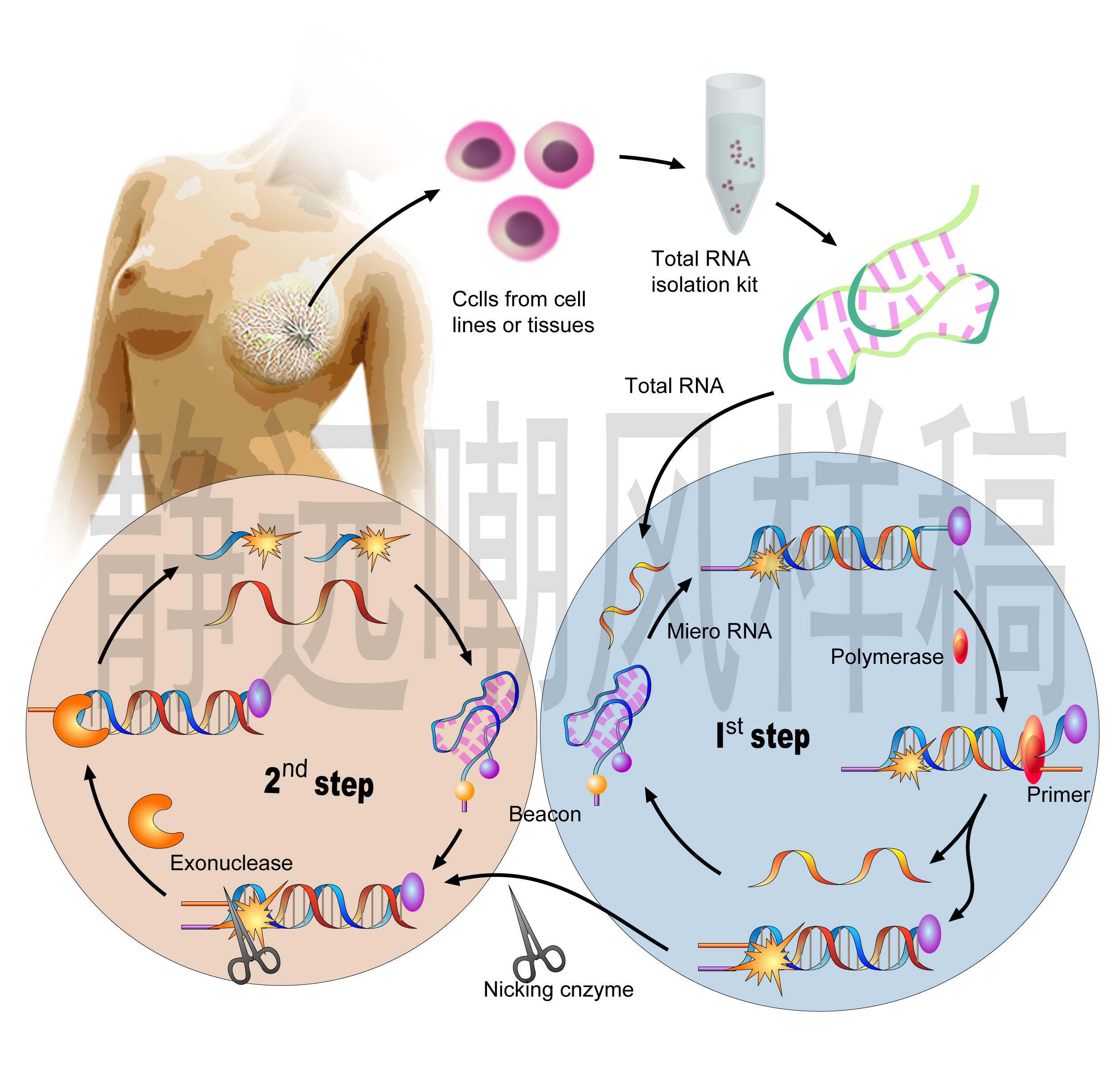 乳腺疾病基因研究