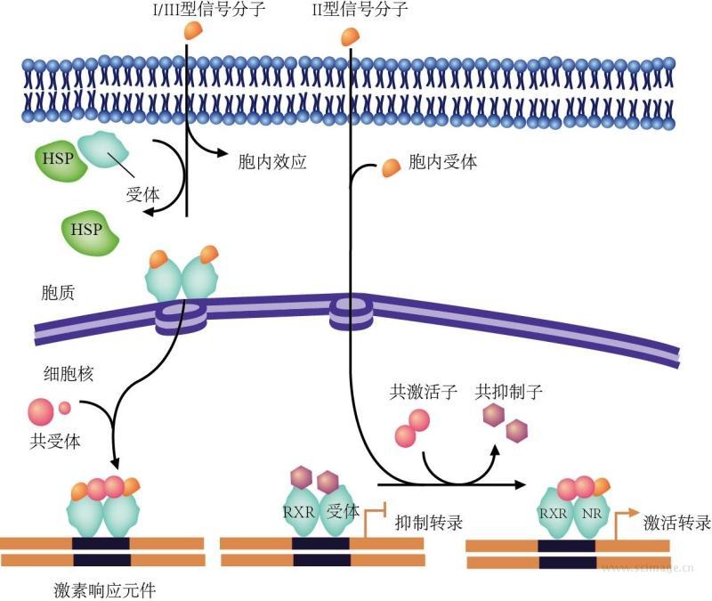 图16-29 核受体介导的信号途径