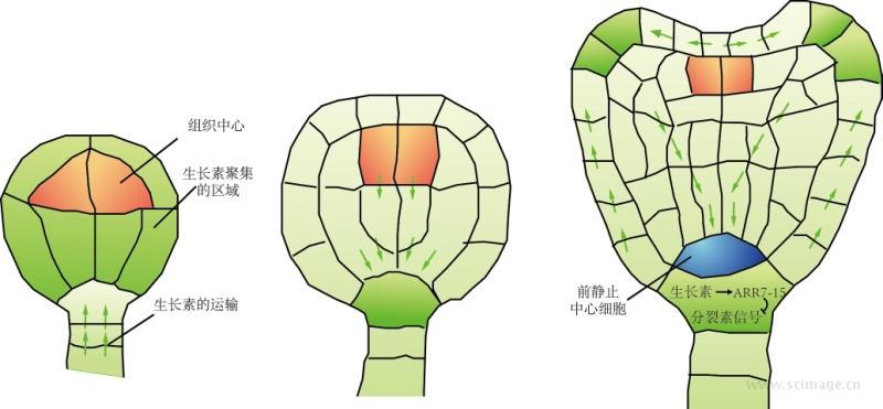 图17-1 植物早期胚胎发生中,生长素和细胞分裂素信号共同调控分生组织的形成