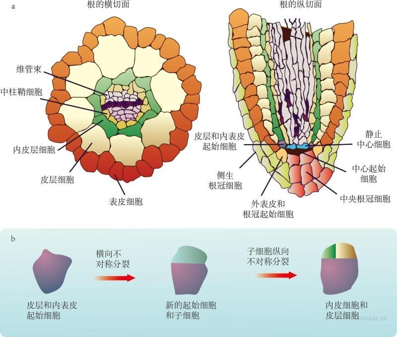 图17-2 不对称分裂对植物根发育的影响
