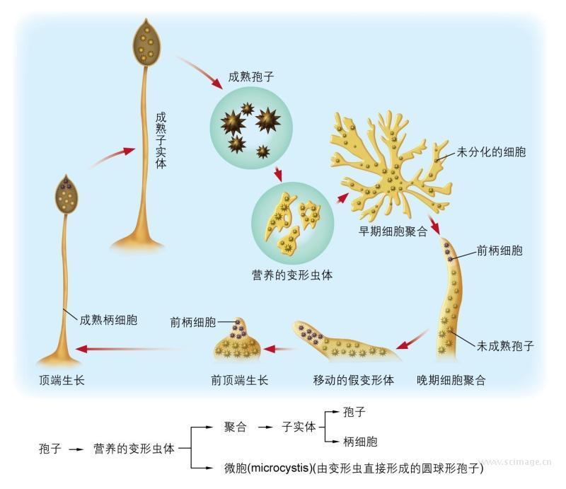 图17-4 盘基网柄菌生活史及细胞分化过程