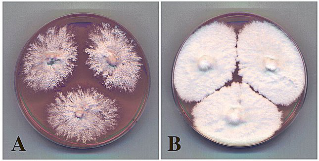 DM复合真菌