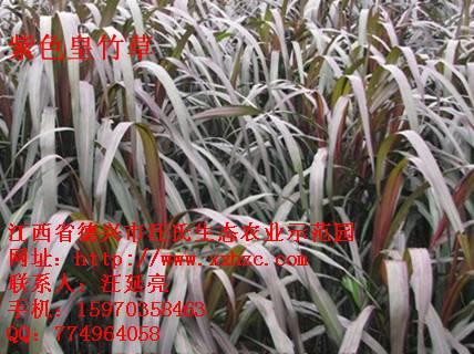 紫色皇竹草种子