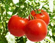 西红柿(番茄)