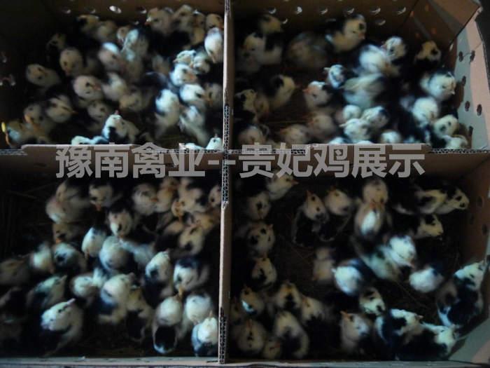 豫南禽业--贵妃鸡