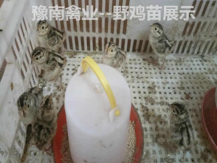 豫南禽业--野鸡苗