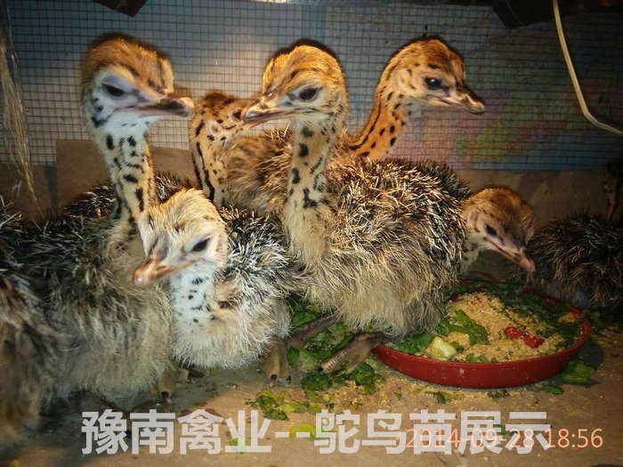 豫南禽业--鸵鸟苗