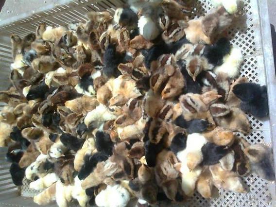 豫南禽业---柴鸡苗