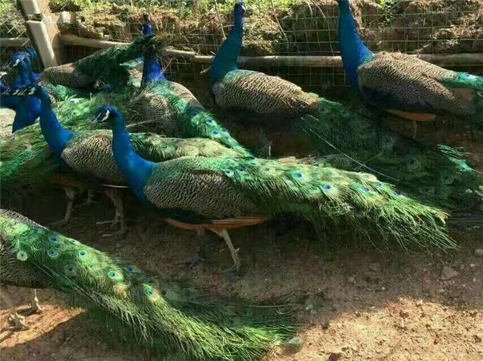 豫南禽业---珍禽苗(孔雀苗)