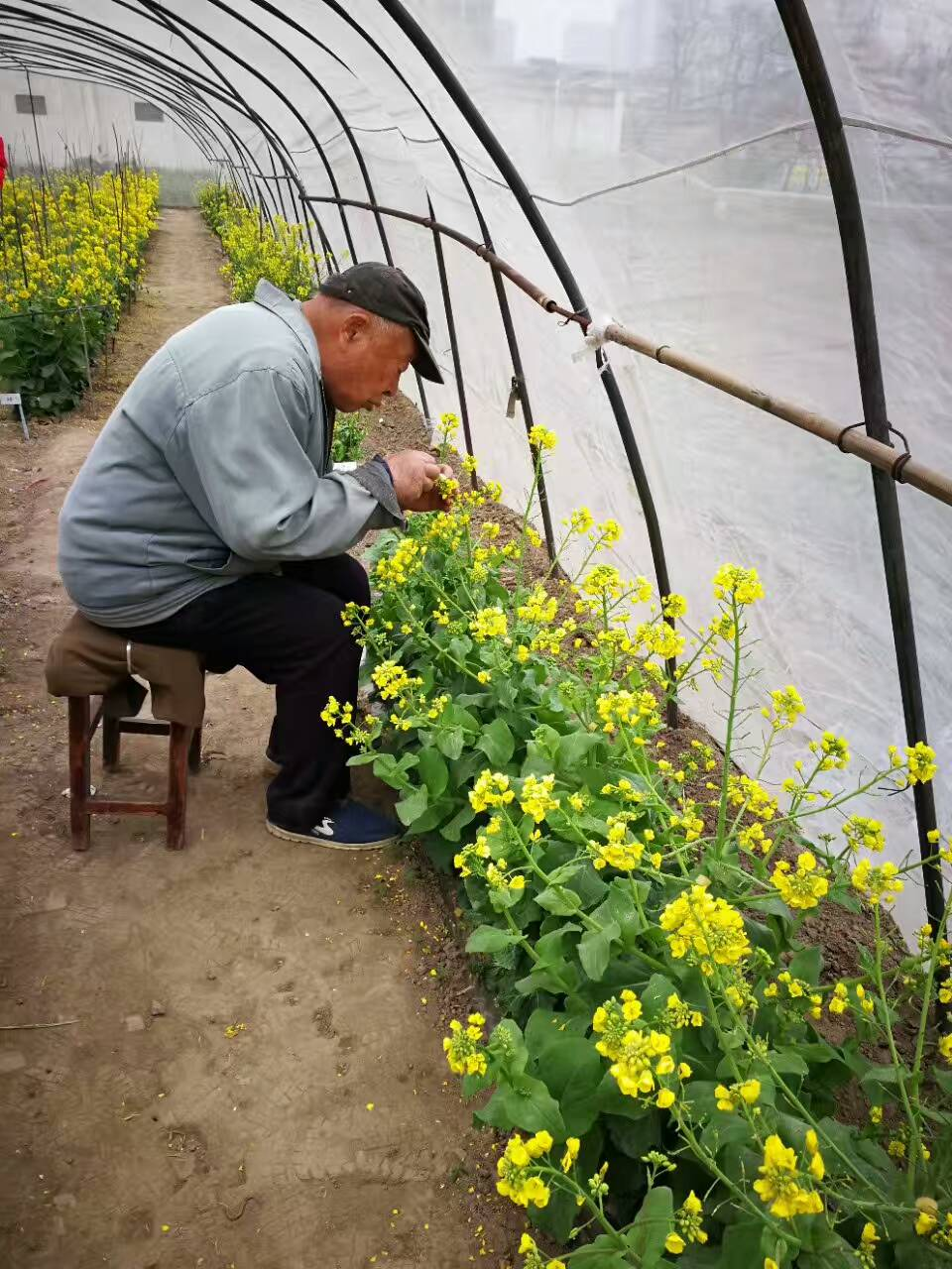 大白菜育种专家八十五岁高龄的宋保琳老师毅然致力于育种工作