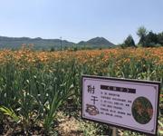 京郊2万亩景观药田迎观赏旺季