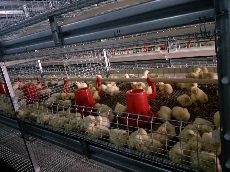 鸡场卫生消毒管理