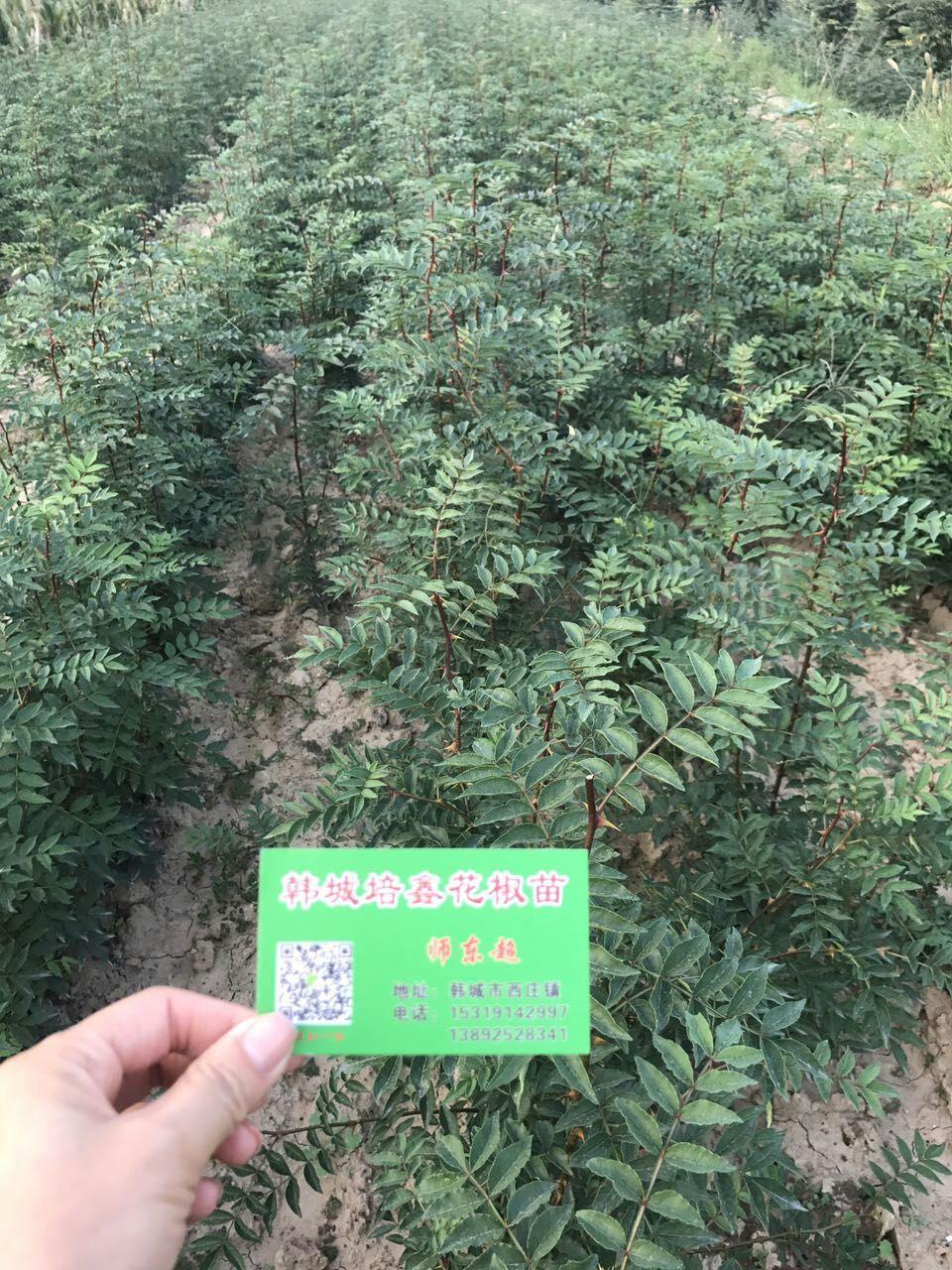 花椒的育苗、修剪、采摘、晾晒、储存等