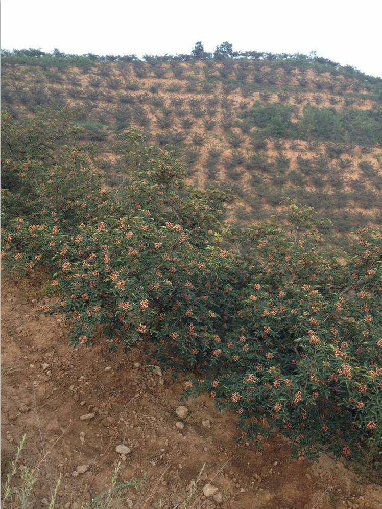 无刺花椒树苗,位于陕西韩城无刺花椒基地,韩城培鑫无刺花椒苗种植批发基地,面向全国销售。