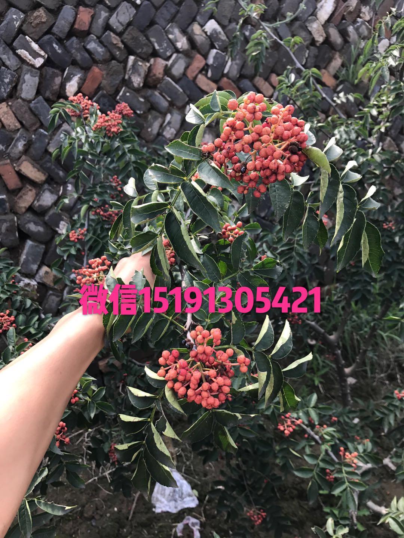 韓城大紅袍花椒-----廠家直銷