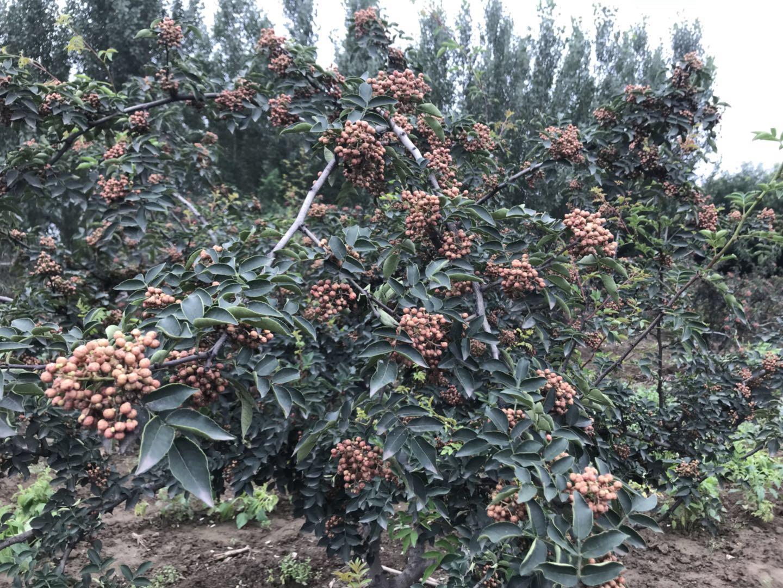 韩城花椒品种