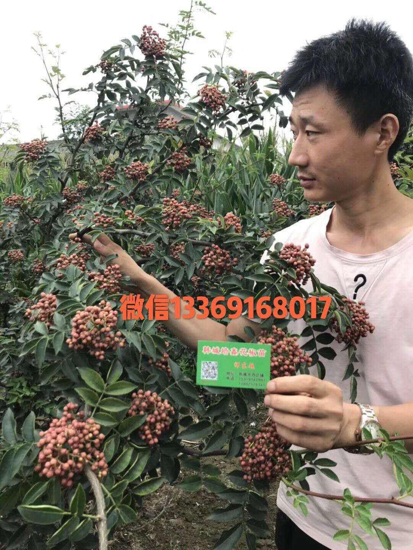 无刺花椒苗产量怎么样