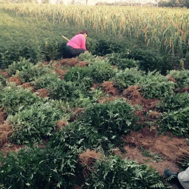 韩城大红袍花椒产业园基地价格
