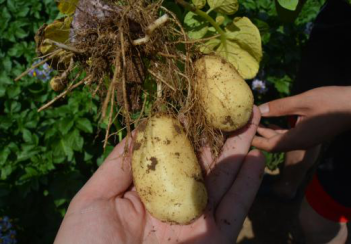 中(草)药制剂防治马铃薯疮痂病效果案例