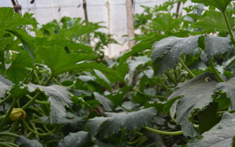 中(草)药制剂防治西葫芦死棵、灰霉病效果案例