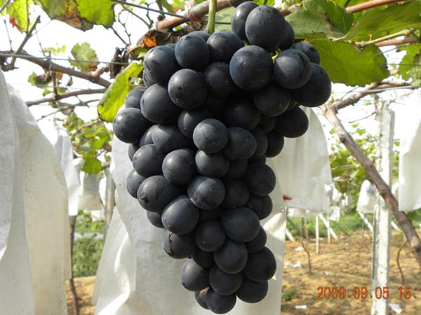 二丫葡萄-夏黑葡萄