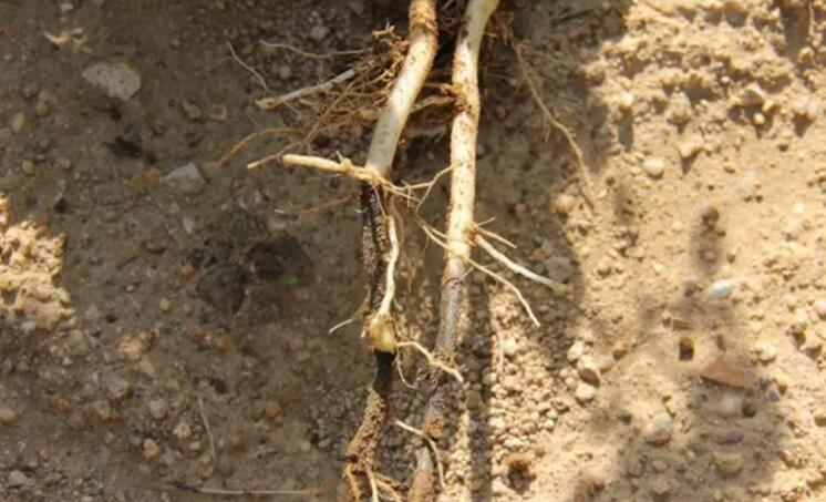 细菌性病害——马铃薯黑胫病
