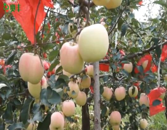 【视频】烟台栖霞苹果使用中草药制剂防治轮纹病效果展示及苹果病毒病等病害防治方案讲解