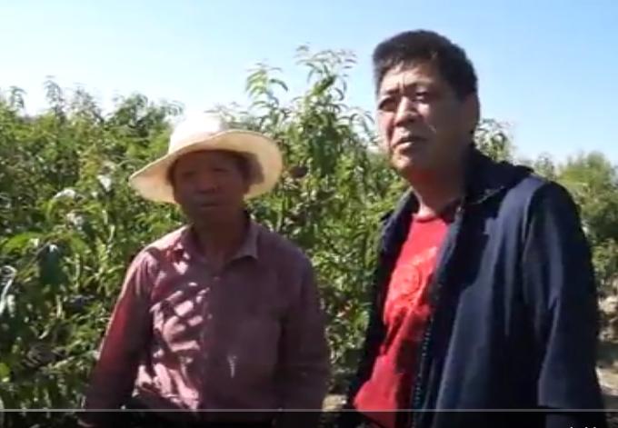 桃树病毒病(缩果)灌根用药效果展示及防治方案讲解(新疆乌鲁木齐)