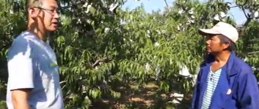桃树黄化、穿孔病使用靓果安、沃丰素效果展示(北京平谷区)