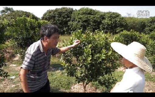 【视频】柑橘用药效果展示及各种病害防治 综合管理要点讲解(广西玉林)